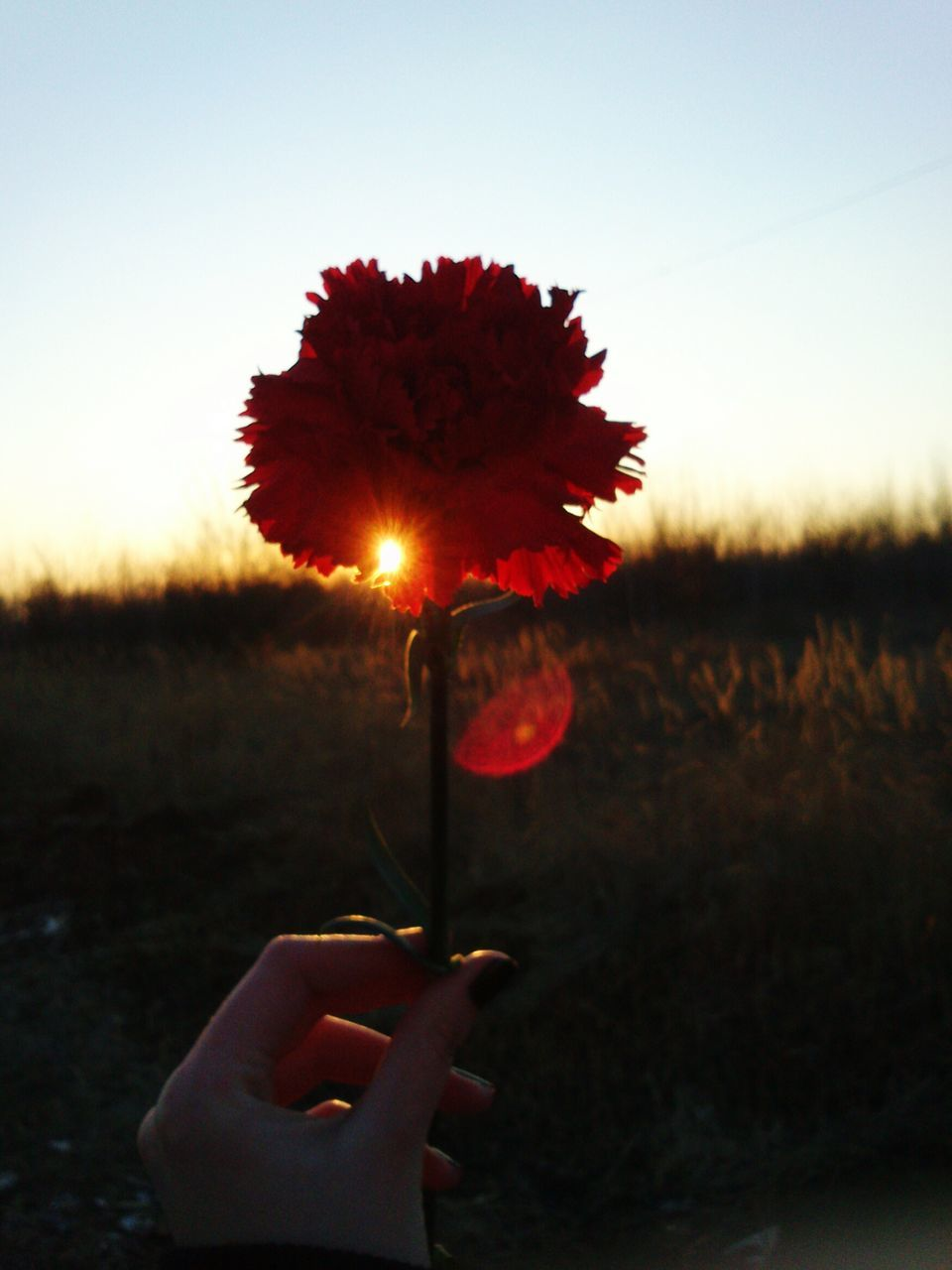 flower, person, red, holding, sunset, part of, sky, sun, field, nature, beauty in nature, sunlight, orange color, clear sky, fragility, plant, close-up