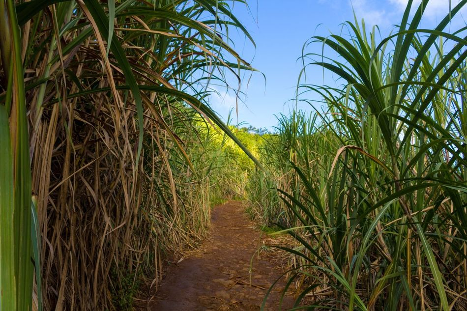 Lost in the middle of a Sugar Cane Plantation! Mauritius Mauritius Island  Sugar Sucre île Maurice  Perdu