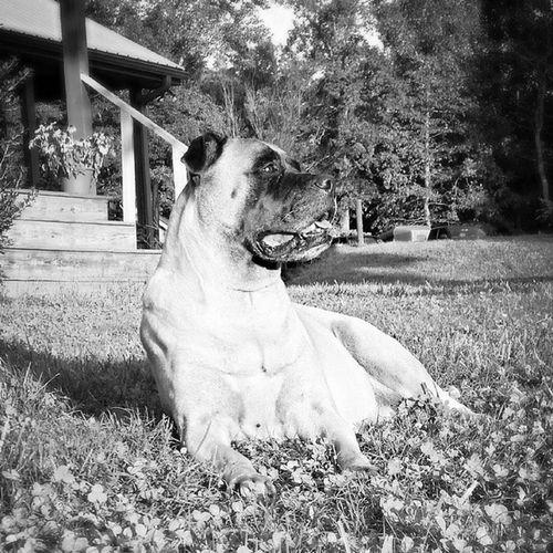 Ilovemymastiffs EmmyLou Mama Farm Life Blackandwhite bull Bullmastiff Black & White Black And White Blackandwhite Photography Doglife Dog Love Dog Animals Animal Love