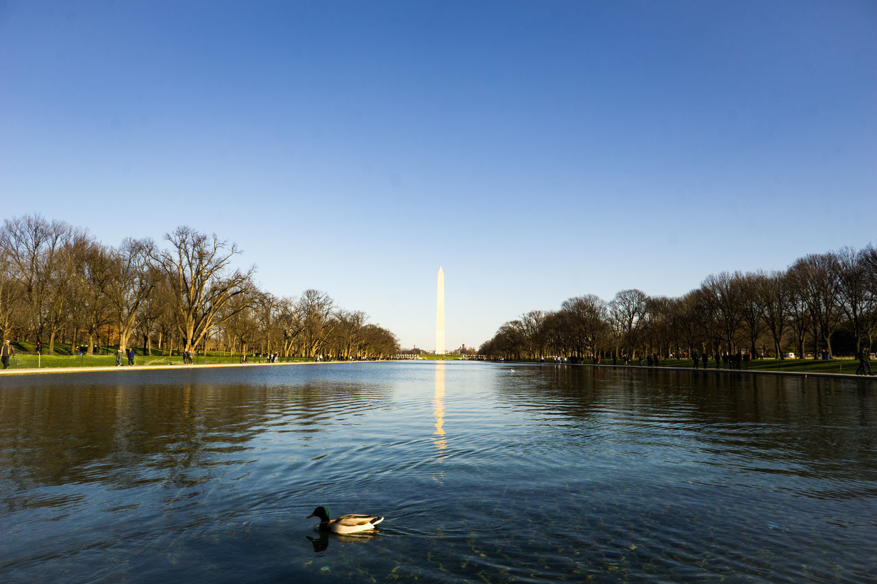 Mallard Duck Swimming In Lake With Washington Monument In Background
