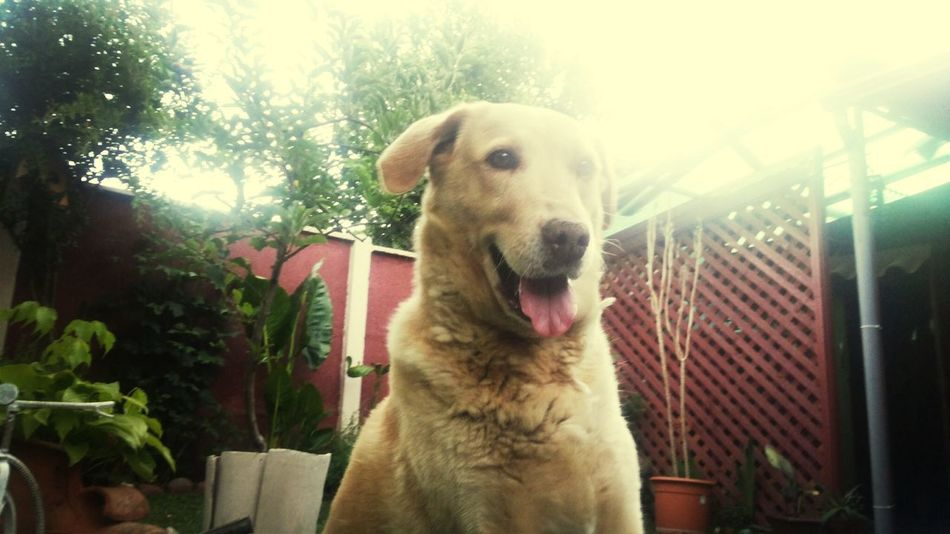 Dog Labrador Chile