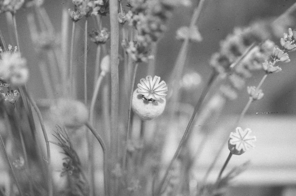 Beauty In Nature Black And White Blackandwhite Blackandwhite Photography Canon EOS 500N Film Is Not Dead Film Photography Filmisnotdead Filmphotography Flower Fragility Growth Ishootfilm Lucky Film Nature No People Plant