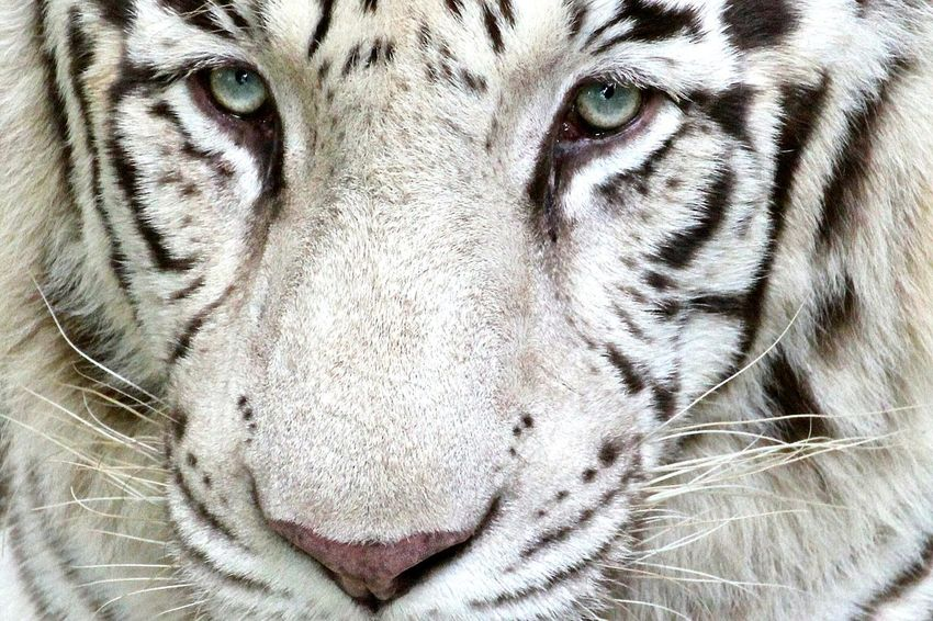 Tiger Close-up Looking At Camera Wildlife Wildlife Photography Wildlife & Nature White Tiger Tiger Face
