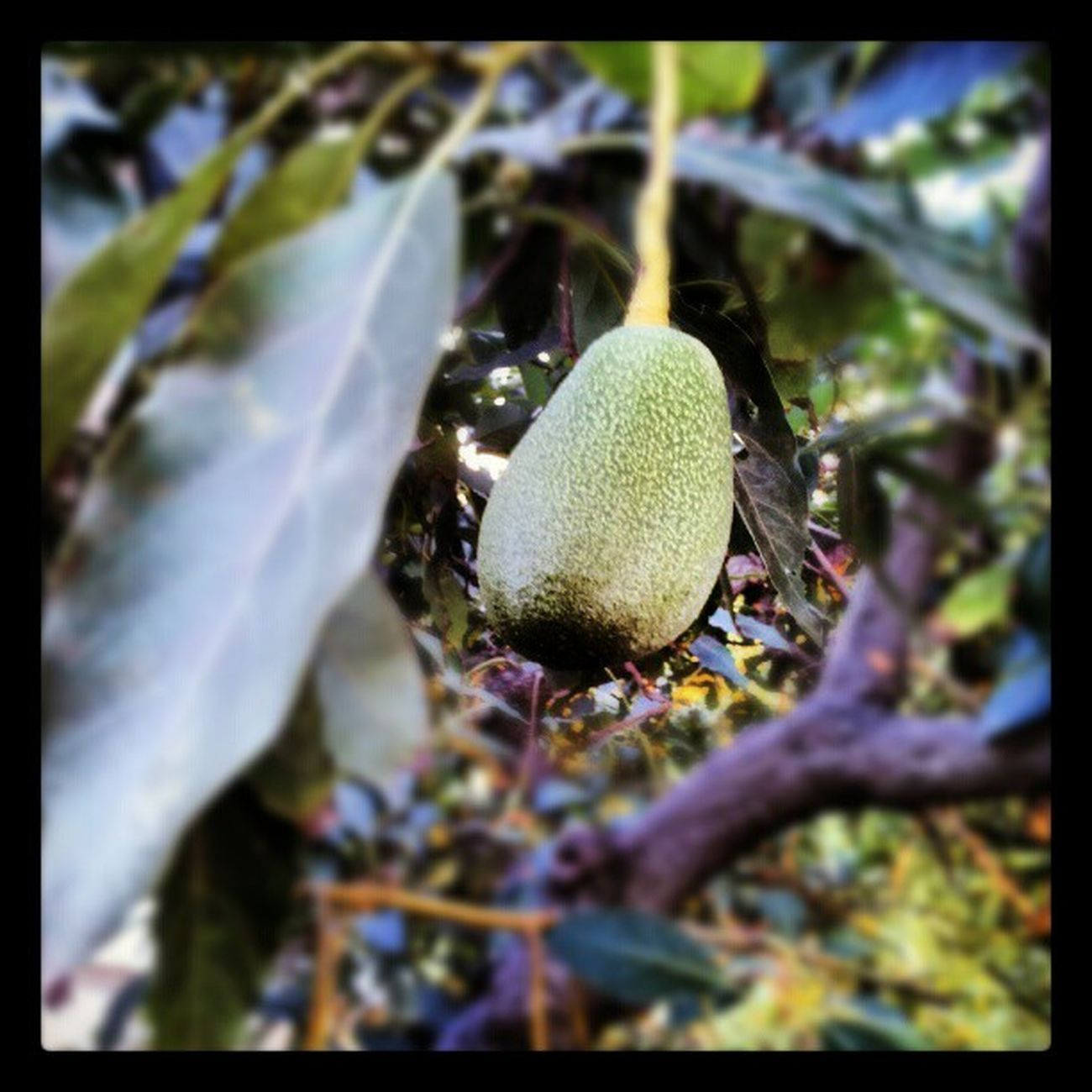 @pickingavocados the only way I know how, in the Treetops Avocados Climbingtrees Futureguacamole avocado