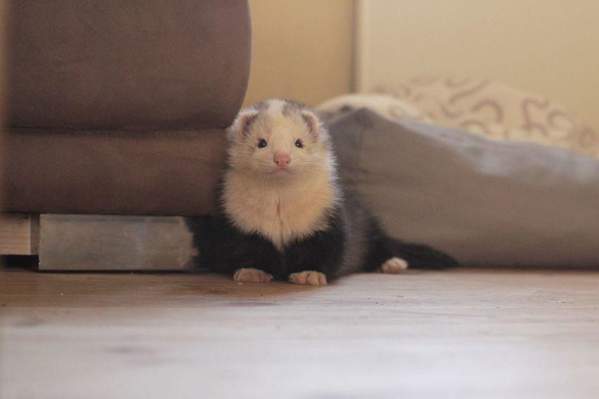 Ferret Ferretlove Denmark Pet Animal Animal Portrait Pet Photography  Pet Portrait Small Animal Cute Portrait Ferrets  Pet Portraits