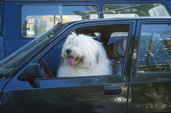 Beachphotography Caribbean Sea Dalmatian Dog Dog In Car Dog On Beach Hot Dog White Dogs