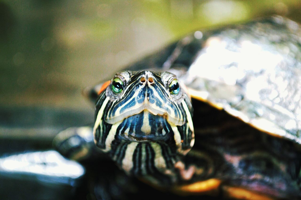 Nature Up Close Nature Turtle Red Eared Slider Turtle Looking At Camera Turtle Facing Camera Close Up Turtle Single Animal Animal Portrait Detail Animal Photography Wild Animal Wild Life Animals Animal Face