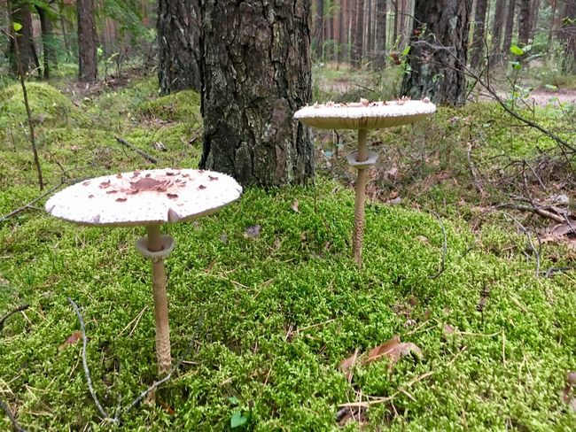 Mushrooms Mushroom Fungus Nature Growth Toadstool Forest Tree Trunk Beauty In Nature Day Outdoors Tranquility No People Green Color Tree Freshness Fragility Fly Agaric Mushroom Close-up Fly Agaric