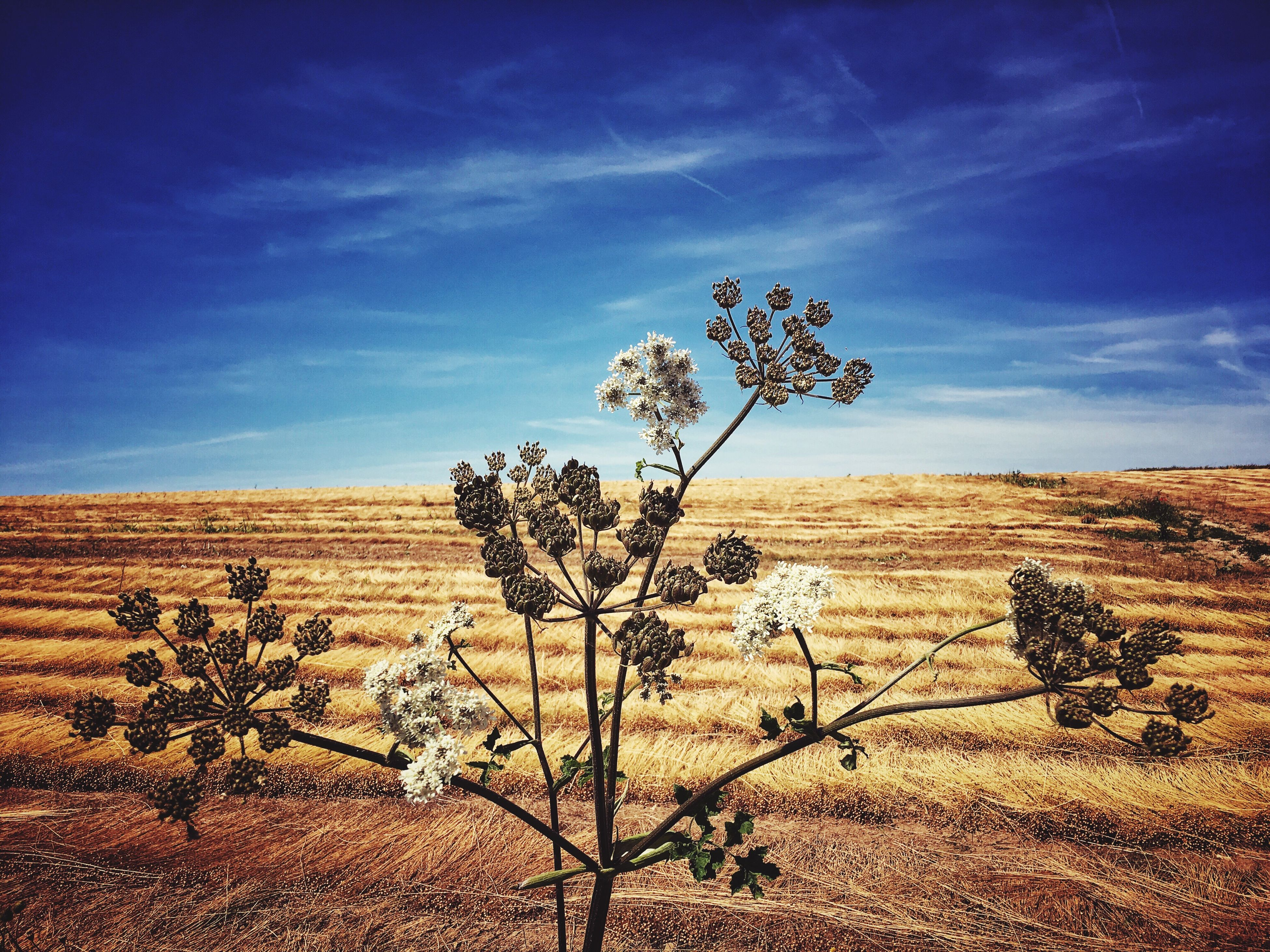 landscape, tranquility, tranquil scene, sky, nature, desert, scenics, arid climate, beauty in nature, tree, horizon over land, barren, cloud, bare tree, field, remote, non-urban scene, blue, plant, growth, solitude, dead plant, day, no people, outdoors, cloud - sky, non urban scene, brown, idyllic, rural scene, travel destinations