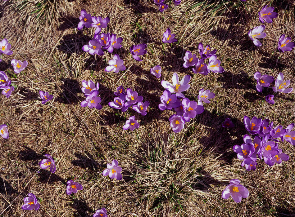 Backgrounds Beauty In Nature Blooming Chocholowska Crocus Crocuses Day Dolina Chocholoska Dolina Chochołowska Flower Full Frame Growth Mountain Mountains Nature No People Outdoors Poland Polen Spring Spring Flowers Springtime Tatry