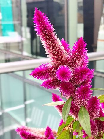 Flower Pink Color Fragility Petal Beauty In Nature Nature Blooming Purple Flower Head Growth Plant Freshness Window No People Day Close-up Outdoors Bloomberg Building Focus On Foreground Depth Of Field