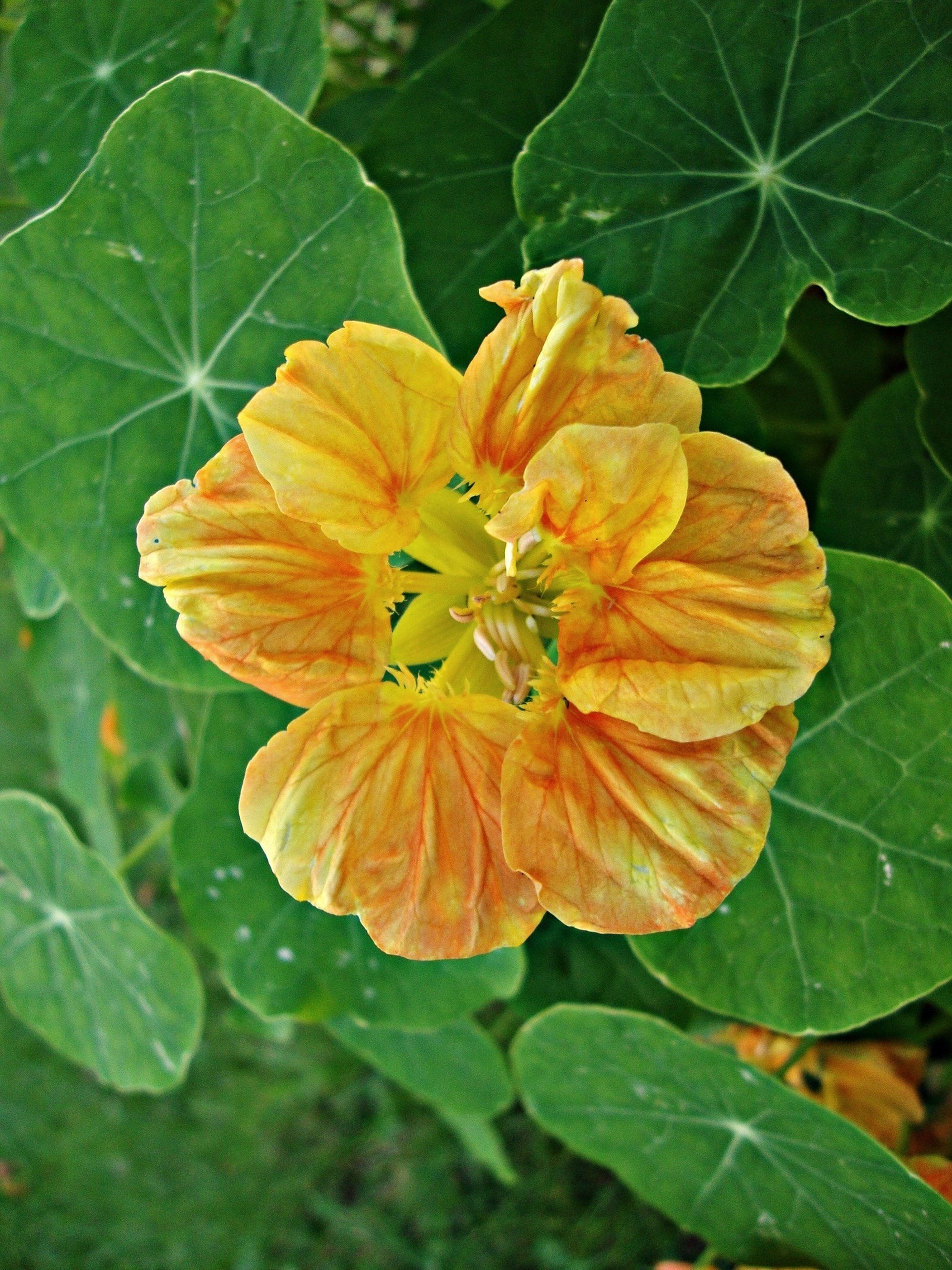 Oostindische Kers Flower Fantasy