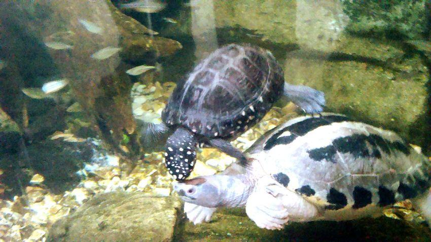 Denver Aquarium Turtles Colorado Swimming Together