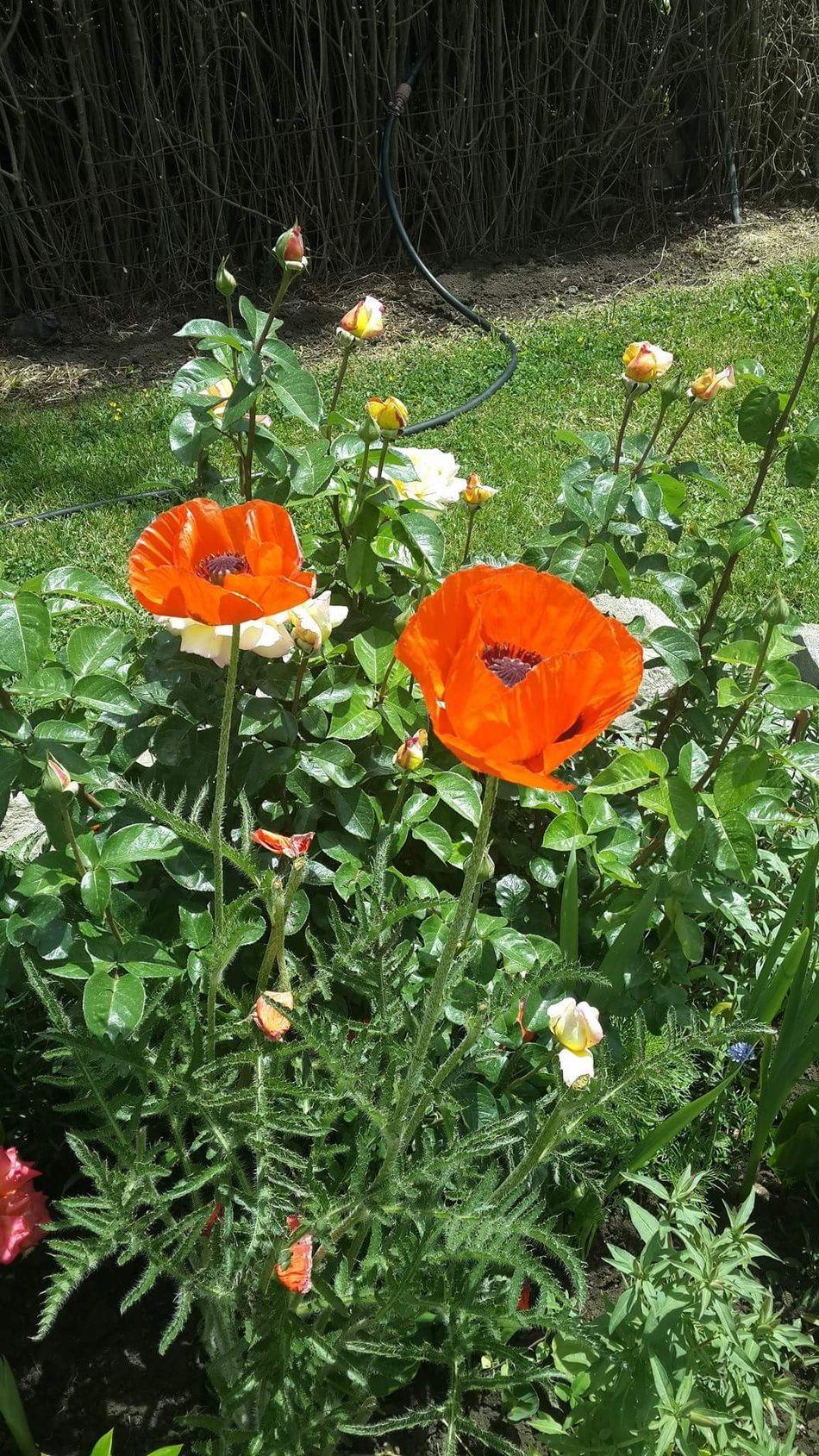 Orange Color Flores Amore Mio ❤ Viviendo La Vida Es Demasiado Corta Para No Disfrutarla Enamorate❤ Belleza De La Naturaleza Belleza