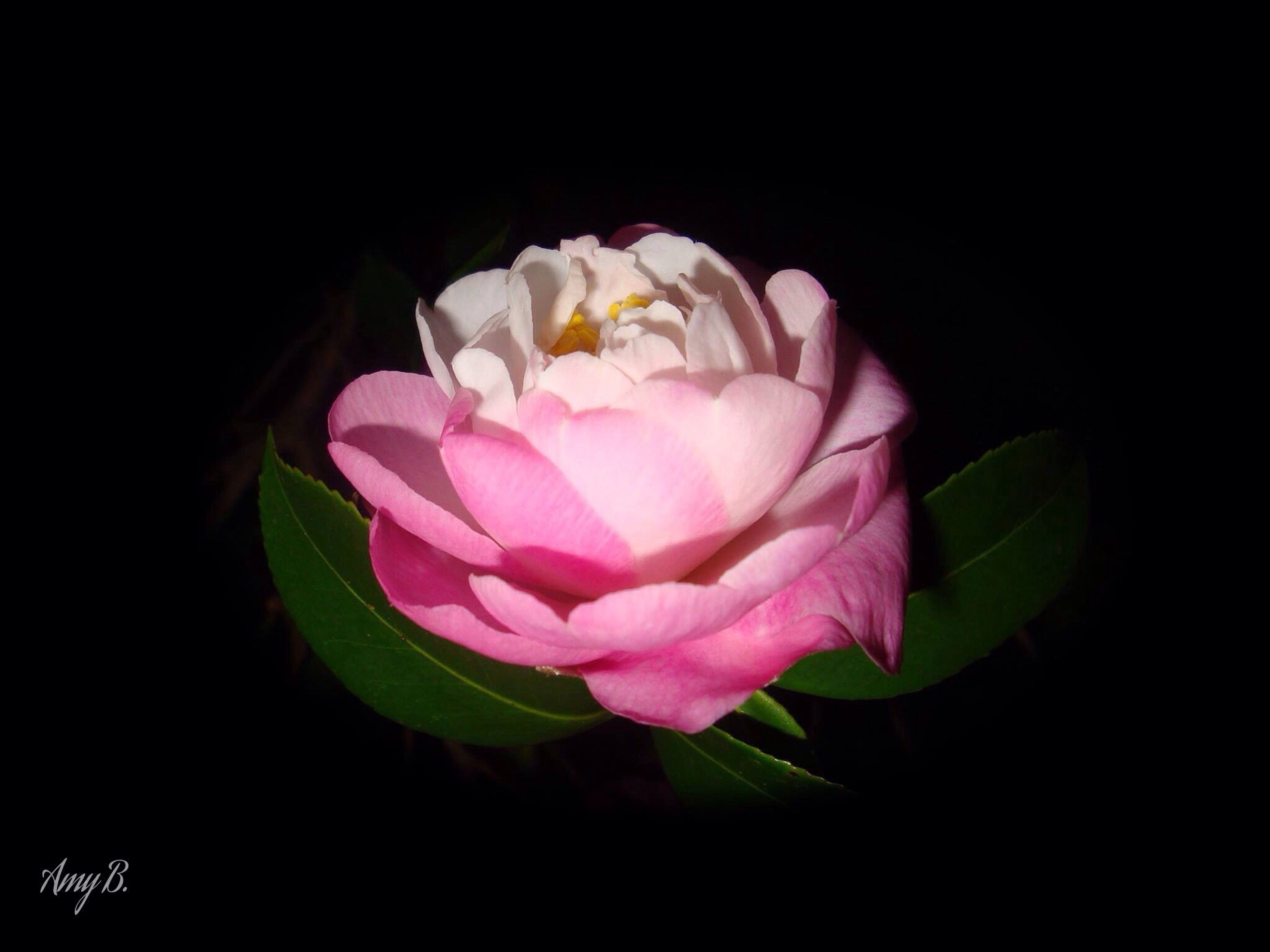 flower, petal, freshness, flower head, fragility, beauty in nature, black background, close-up, studio shot, pink color, growth, rose - flower, single flower, nature, blooming, rose, plant, leaf, blossom, no people