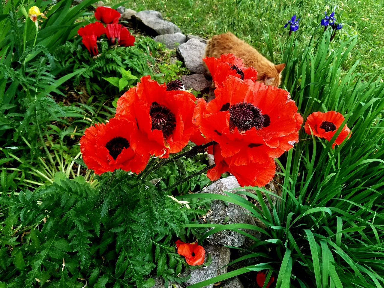 Plant Growth Nature Beauty In Nature Flower Head Poppy