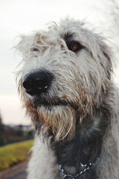 Animal Themes One Animal Outdoors Bokeh Dog Of The Day Cearnaigh Dogslife Irish Wolfhound Dogs Of EyeEm Winter 2017 February 2017 Dogwalk Portrait Domestic Animals Looking At Camera Showcase February 2017 From My Point Of View Close-up Dog Petscorner Dogs Of Winter How Is The Weather Today?