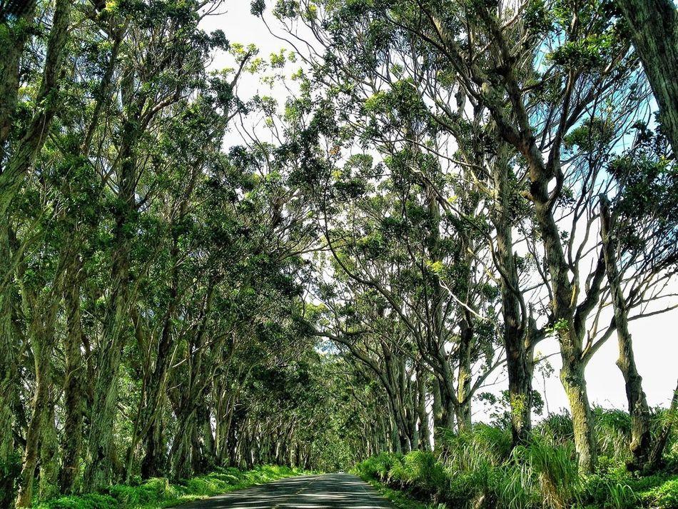 Trees Hawaii Kauai Tree Tunnel