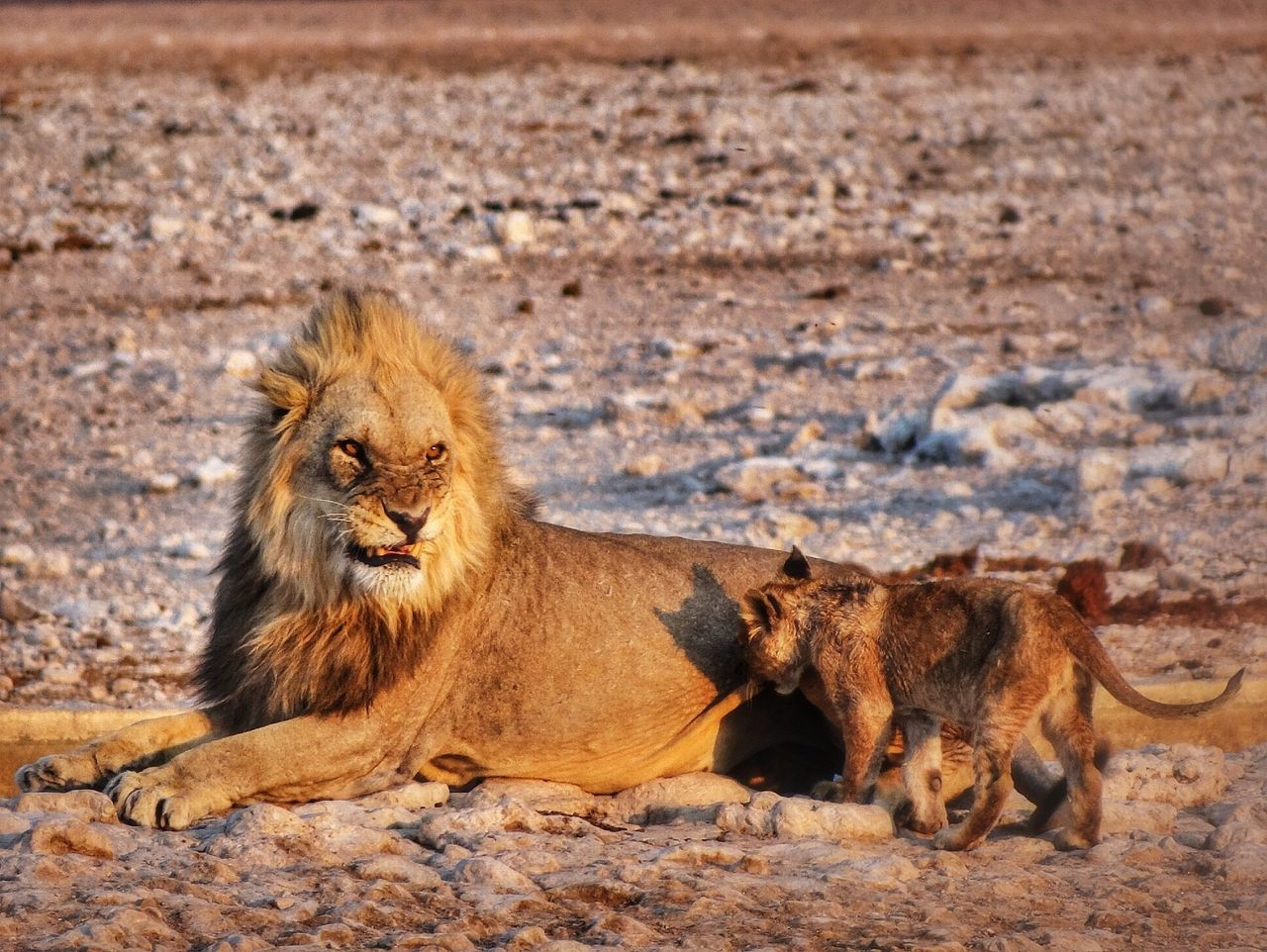 Beautiful stock photos of lion, Animal Family, Animal Themes, Animals In The Wild, Brown