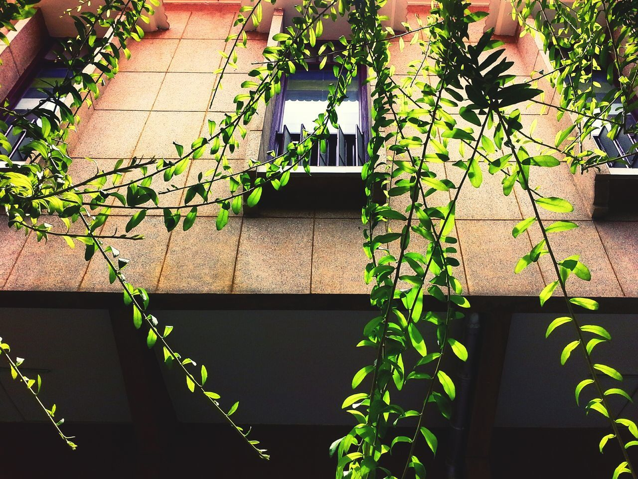 plant, growth, leaf, ivy, outdoors, nature, day, no people, close-up