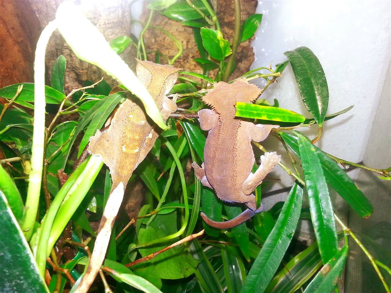 "Two crested gecko females: ""Nove, The New One"" (right) & ""Nolifi"" (""NOva's LIttle FrIend""). 2 Girls Two Animals Two Girls Nature Animal Themes Real Life Hello World Dragons Exotic Creatures Beautiful Nature God's Beauty Living With Nature Check This Out Jurassic World Of Dino's Exotic Animals Wonderful Nature Crested Gecko Crested House Animal Gecko Jurassic Park Friendship ❤ Friendship Photoshoot Girls Friends Girls Friendship"