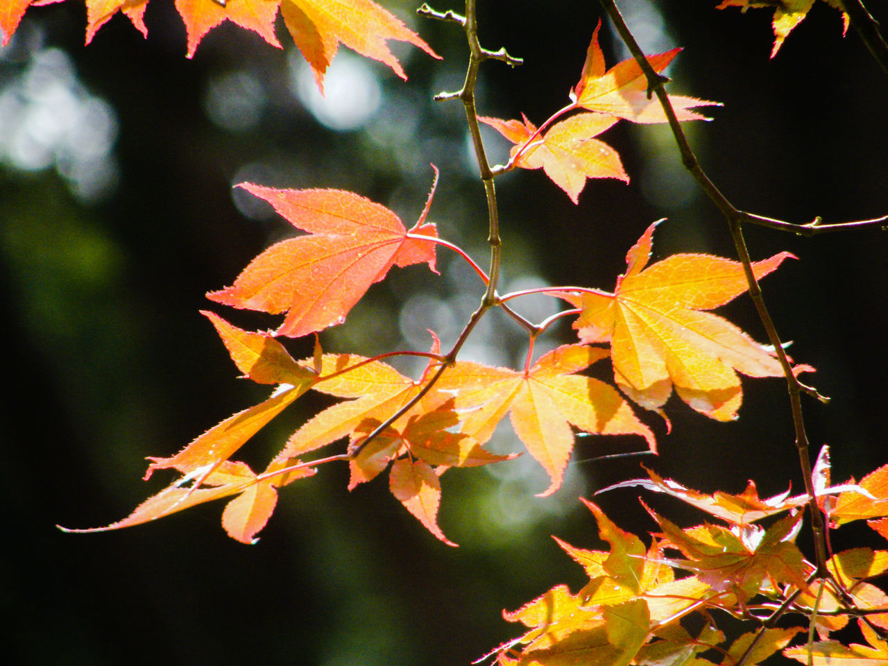 leaf, autumn, change, nature, growth, beauty in nature, focus on foreground, outdoors, day, maple leaf, no people, close-up, maple, fragility, branch, freshness