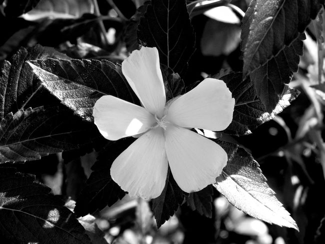A beautiful bright white flower Beauty In Nature Blackandwhite Blackandwhite Photography Close-up Darkness And Light EyeEm EyeEm Nature Lover Flower Focus On Foreground Fragility Freshness Full Frame Growth Monochrome Photography Natural Beauty Nature Outdoors Plant Scenics Single Flower Softness Sunlight And Shadows Sunshine Filtering Through Foliage Unique White Flower