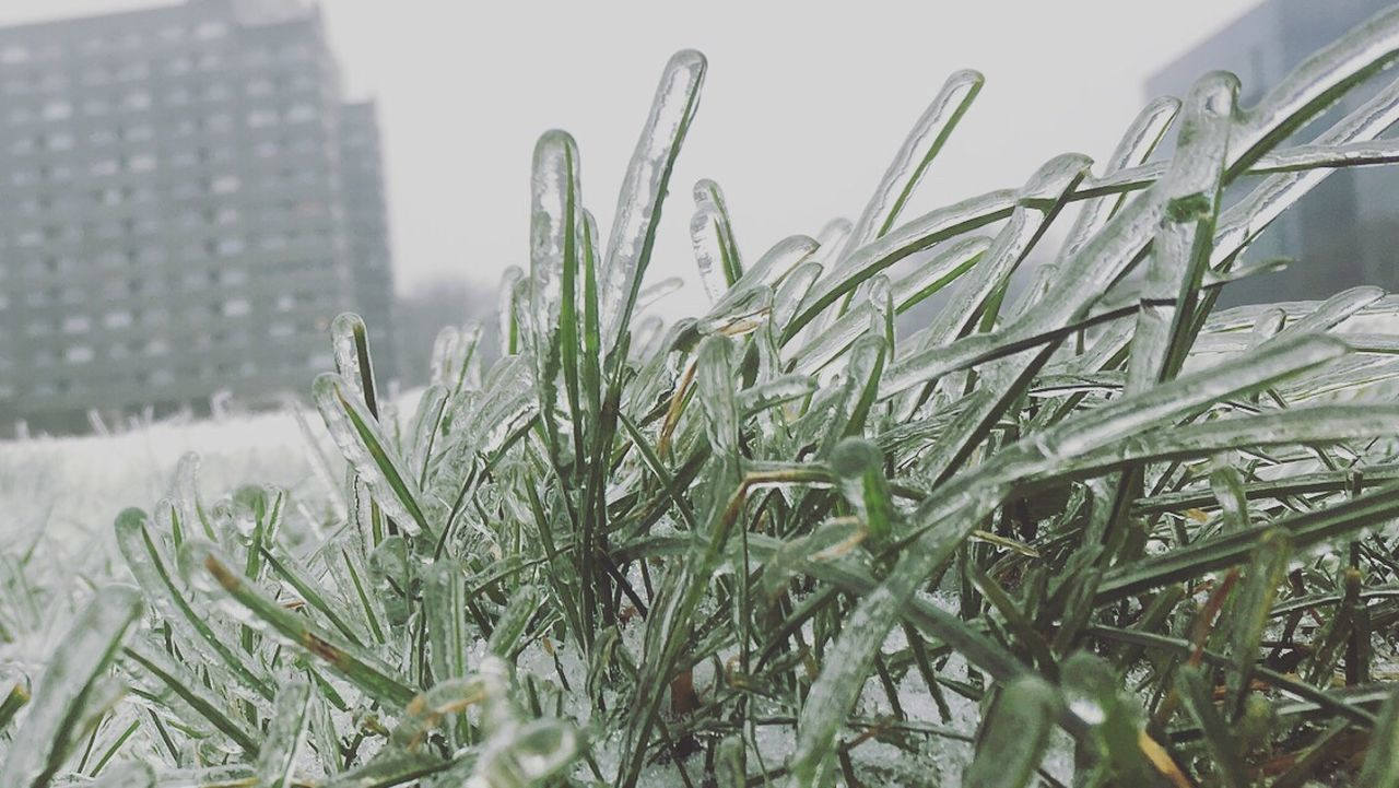 winter, cold temperature, weather, no people, growth, close-up, nature, day, grass, green color, plant, snow, outdoors, beauty in nature, freshness