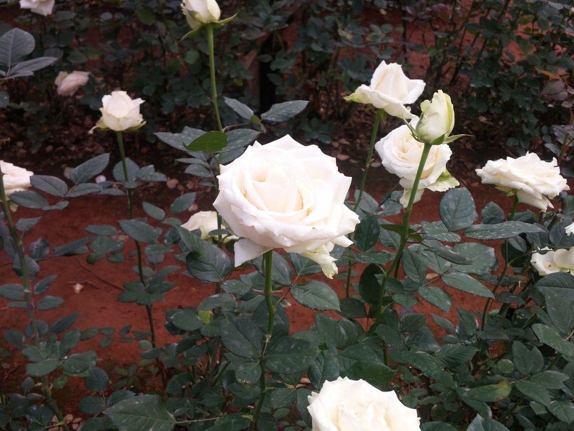 Flower White Roses Rose🌹 Beauty Of Flowers