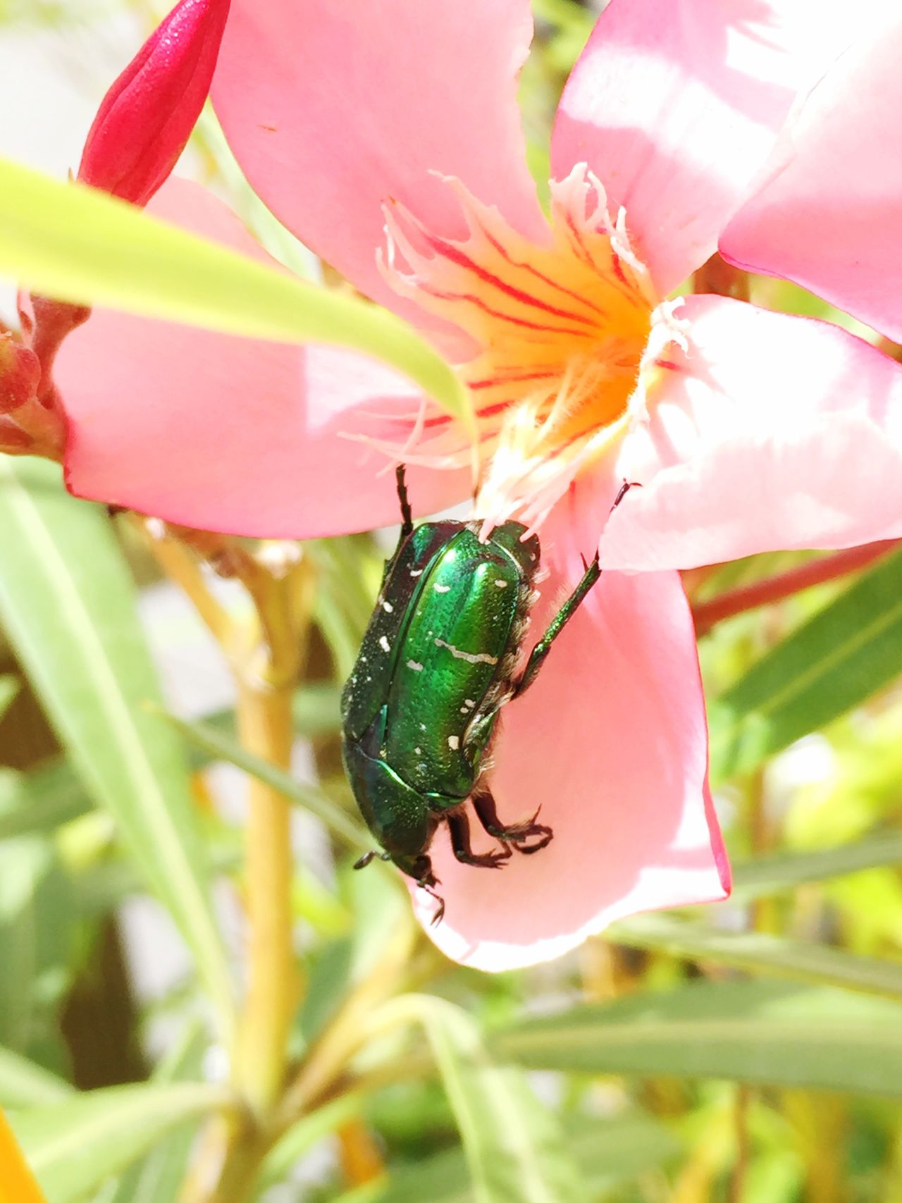 Oleander Flower Pink Color Bug Greenbug Flyingbug