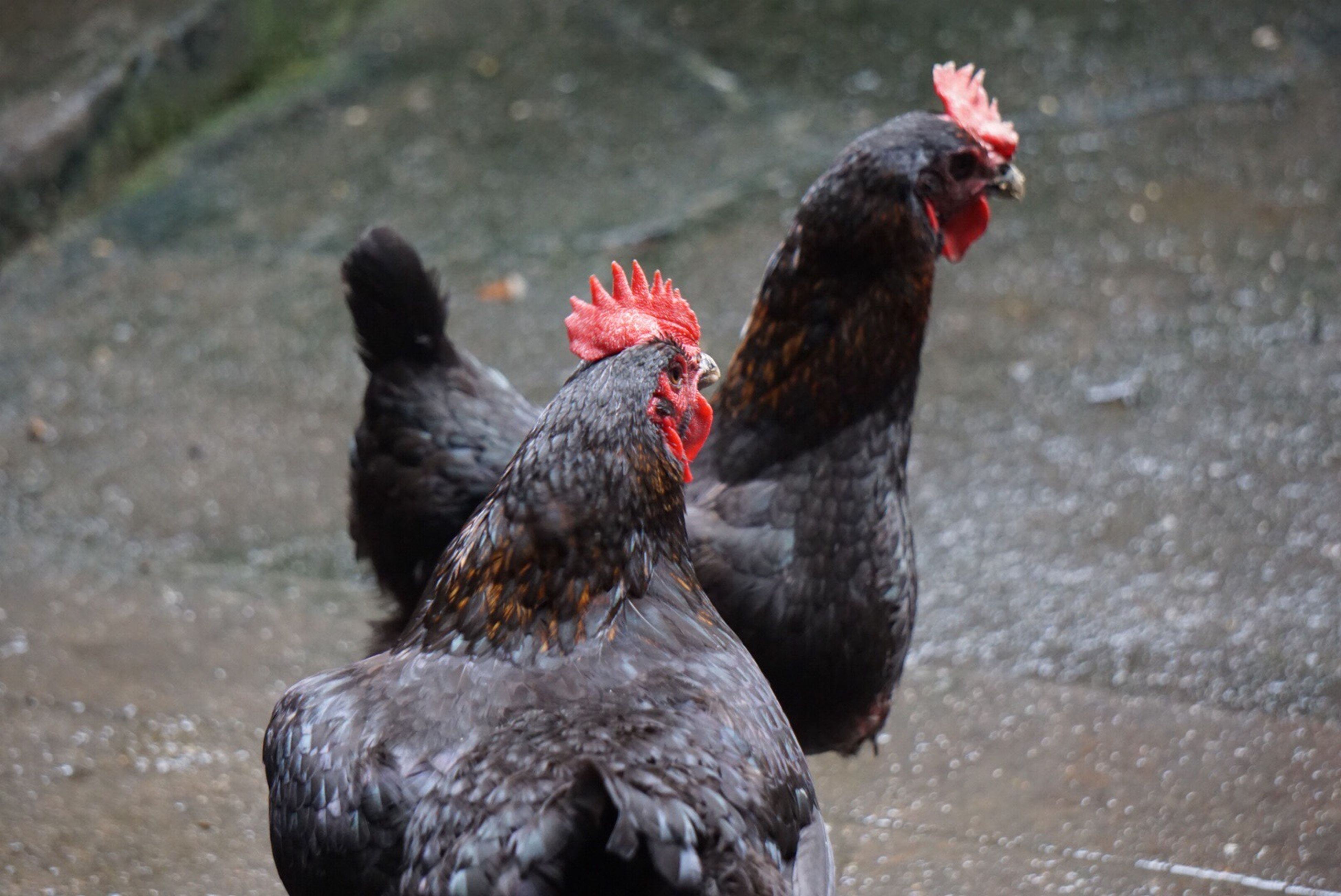 animal themes, bird, one animal, animals in the wild, red, chicken - bird, wildlife, domestic animals, rooster, focus on foreground, livestock, hen, close-up, black color, day, nature, outdoors, two animals, zoology, no people
