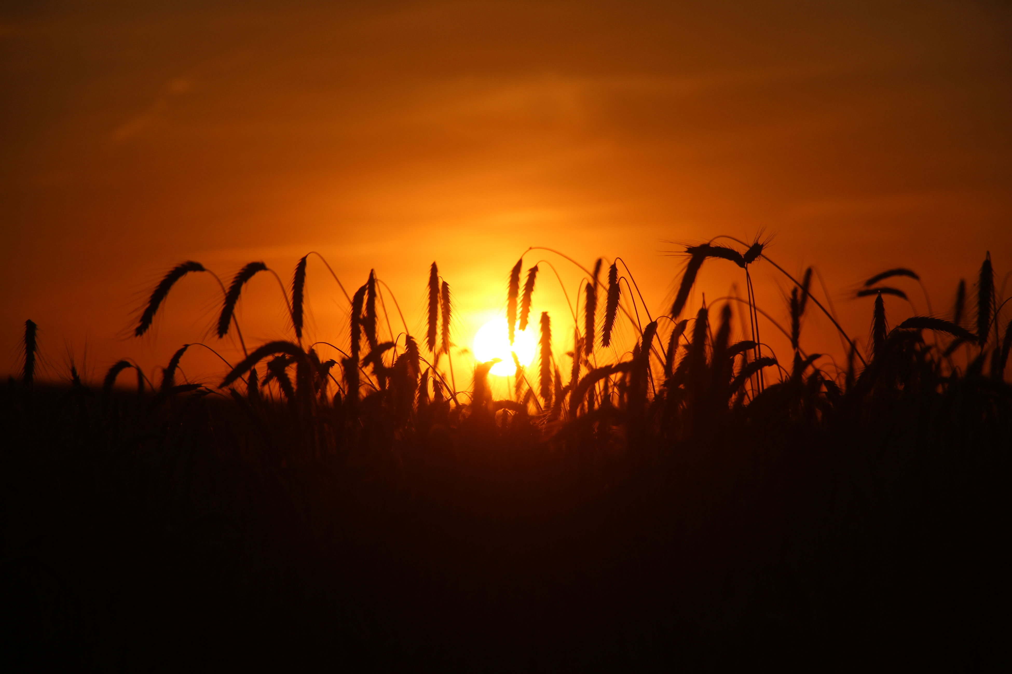 sunset, silhouette, sun, orange color, sky, plant, tranquility, tranquil scene, beauty in nature, nature, scenics, growth, idyllic, field, sunlight, back lit, outdoors, no people, outline, landscape