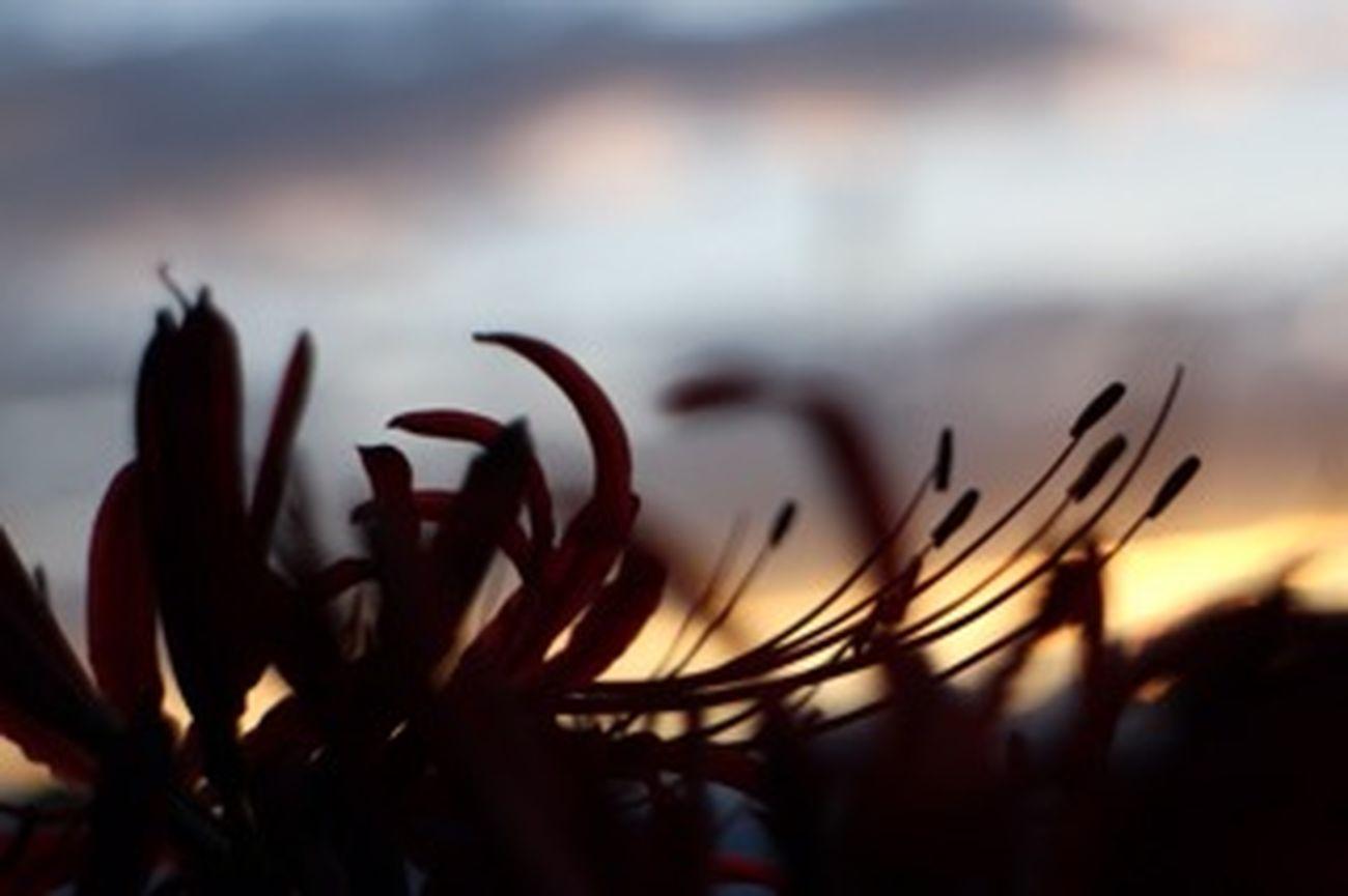 曼珠沙華 彼岸花 花 Silhouette ものおもい ひっそりと咲く。