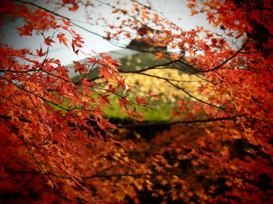 Kyoto Japan ASIA Yase Rengeji Temple Tree Leaf Beauty In Nature Nature Red Outdoors Growth Day Maple Leaf Autumn Leaves Autumn Olympus PEN-F
