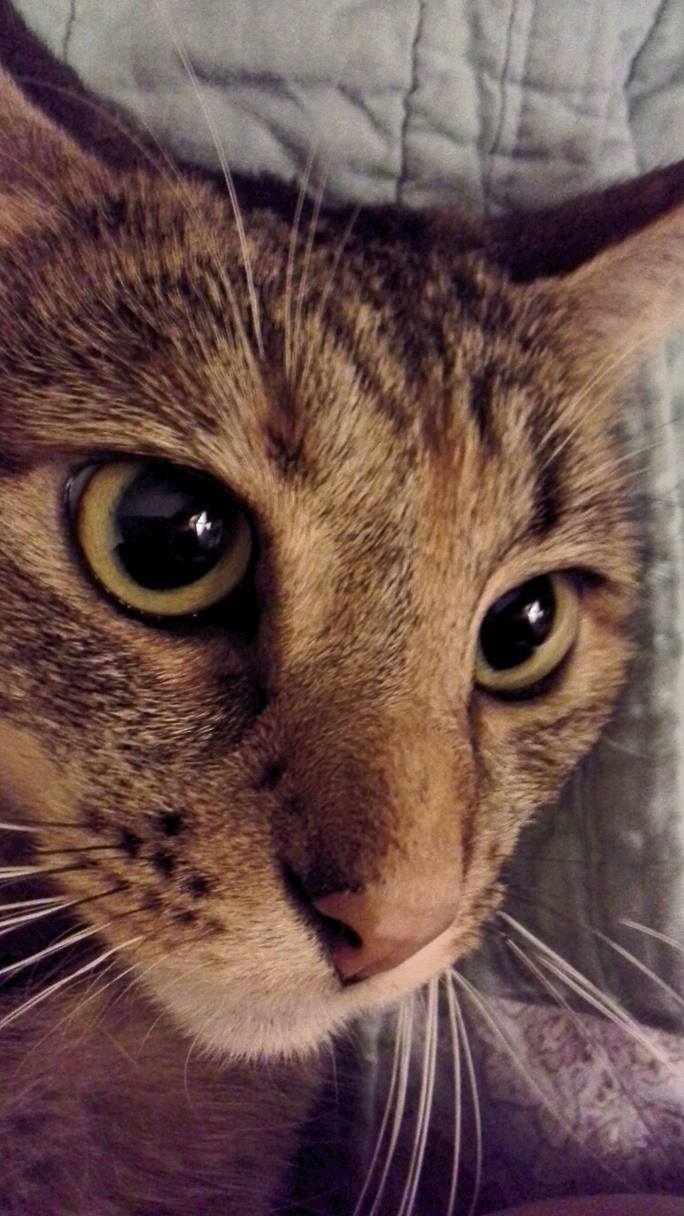 one animal, animal themes, pets, domestic cat, domestic animals, cat, portrait, whisker, looking at camera, mammal, feline, indoors, animal head, animal eye, close-up, staring, alertness, animal body part, front view