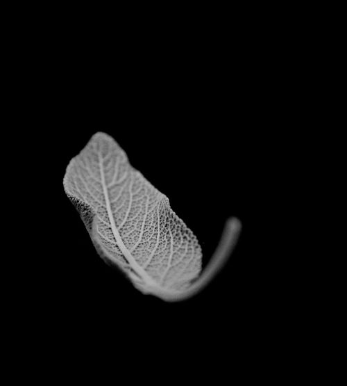 Handmade For You Nature Still Life DARK BACKGROUNG Indoors  Black And White Photography No People Sage Leaf A LEAF TALE THE FALLING LEAF Motion Capture Black Background Falling The Week On EyeEm