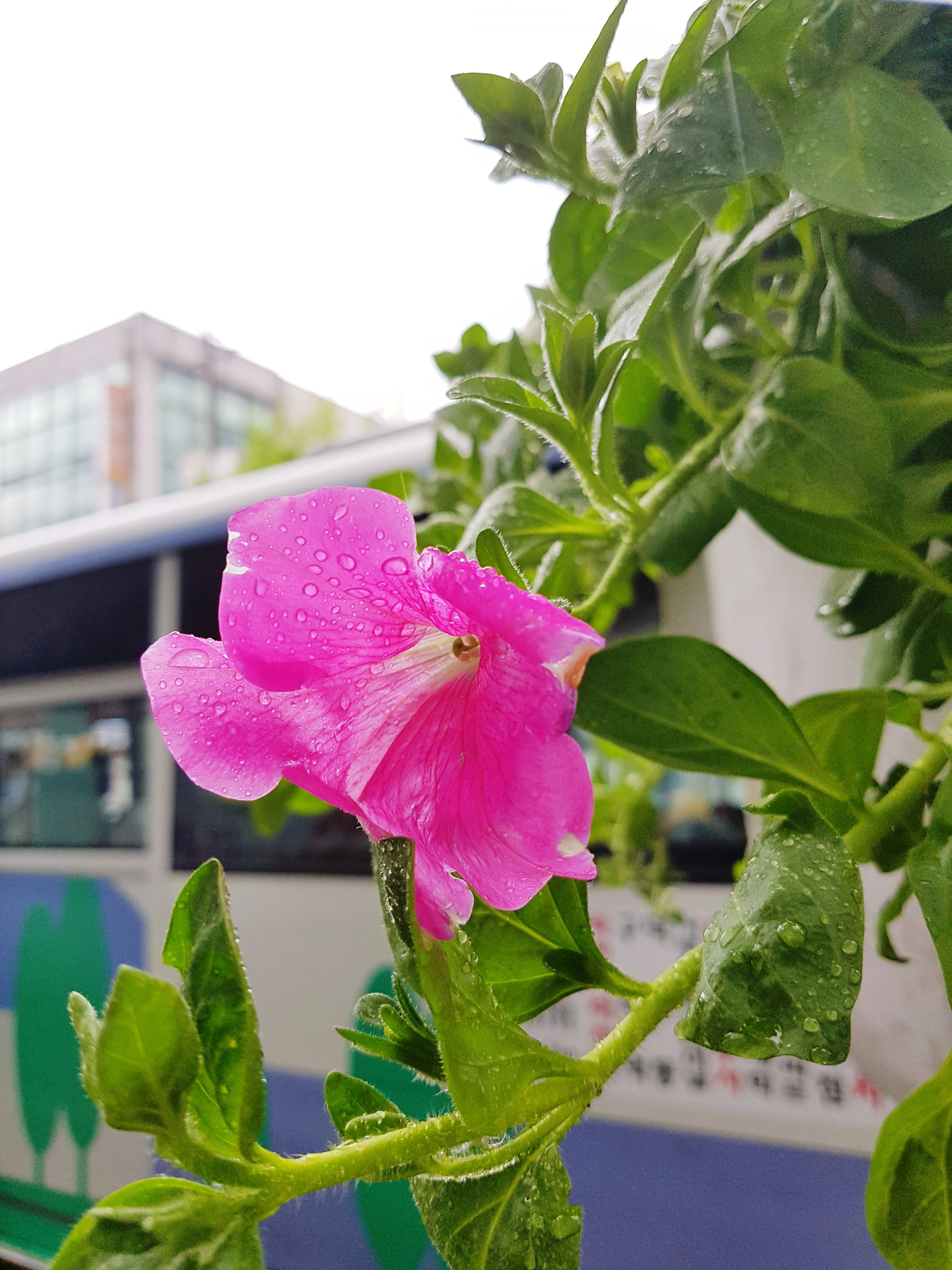 flower, nature, pink color, growth, leaf, freshness, fragility, flower head, plant, beauty in nature, petal, no people, close-up, wet, day, outdoors, building exterior, water, periwinkle, architecture