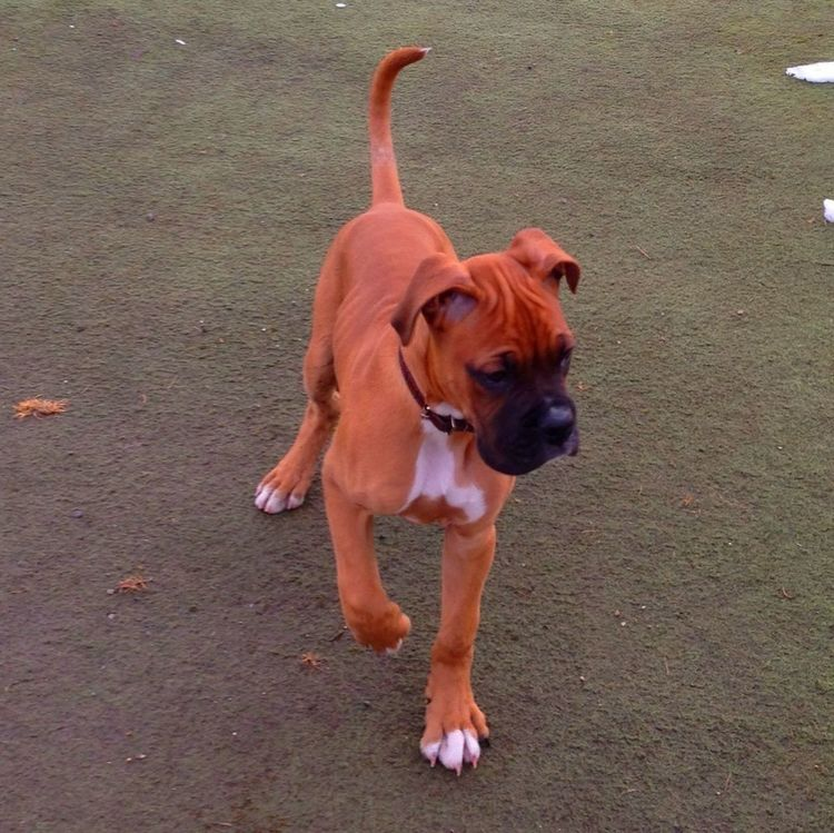 Cute My Dog Puppy Boxer