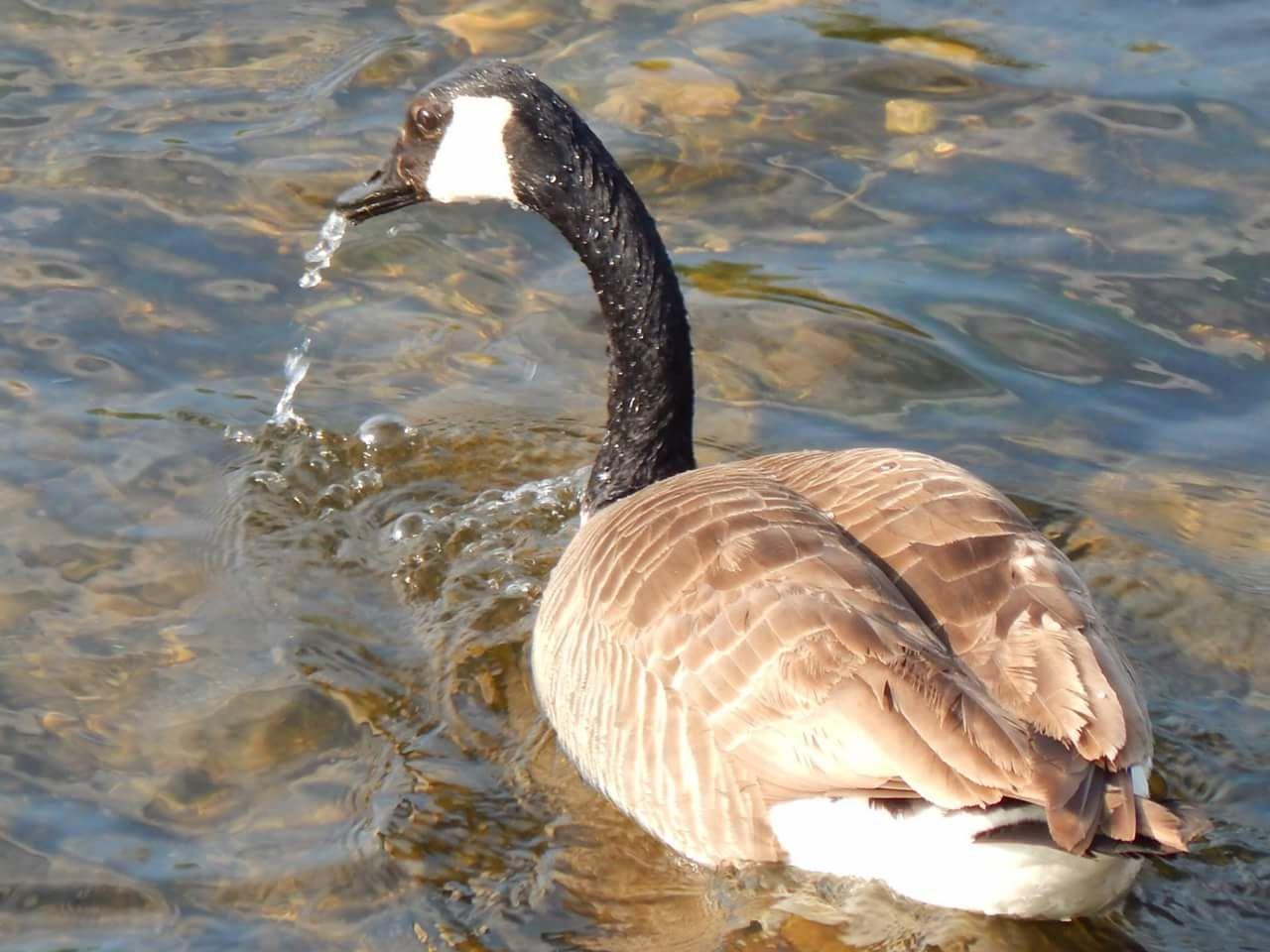 animals in the wild, animal themes, water, lake, one animal, bird, waterfront, swimming, animal wildlife, nature, water bird, no people, day, swan, outdoors, black swan, close-up