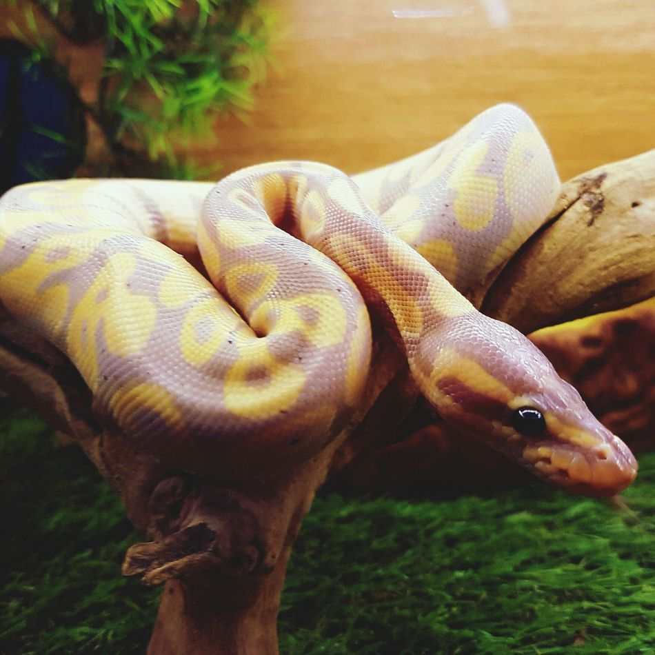 Stunning snake Reptile Animal Themes One Animal Animals In The Wild Close-up Nature Animal Scale No People Animal Tranquil Scene Animal Wildlife Beauty In Nature Snakes Are Beautiful Tranquility Reptile Snake Eyes Pythons Snakes♥ Urban Wildlife Nature Light Up Your Life