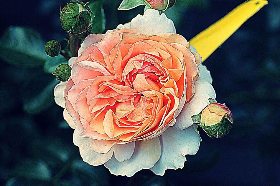 Rose With Buds Flowerforfriends♡♥ Eyeemflowerlover Floralperfection