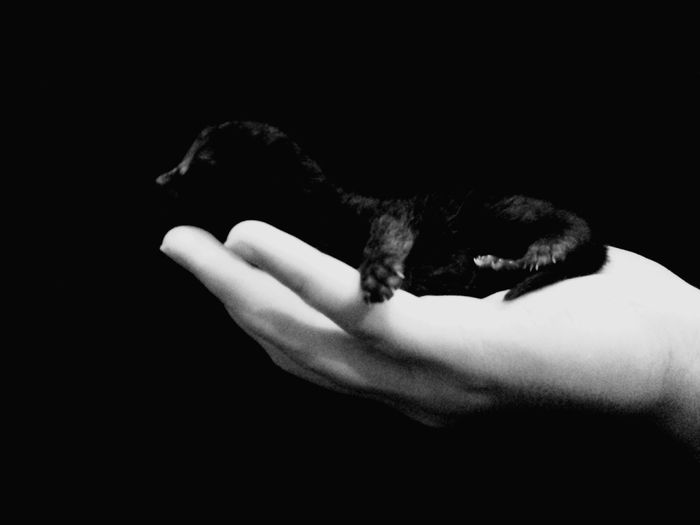 Black and white Domestic Cat Human Body Part One Animal Animal Human Hand Animal Themes Domestic Animals Animal Hair Mammal Feline Paw Holding Indoors  Studio Shot Black Background Young Animal Adult People No People