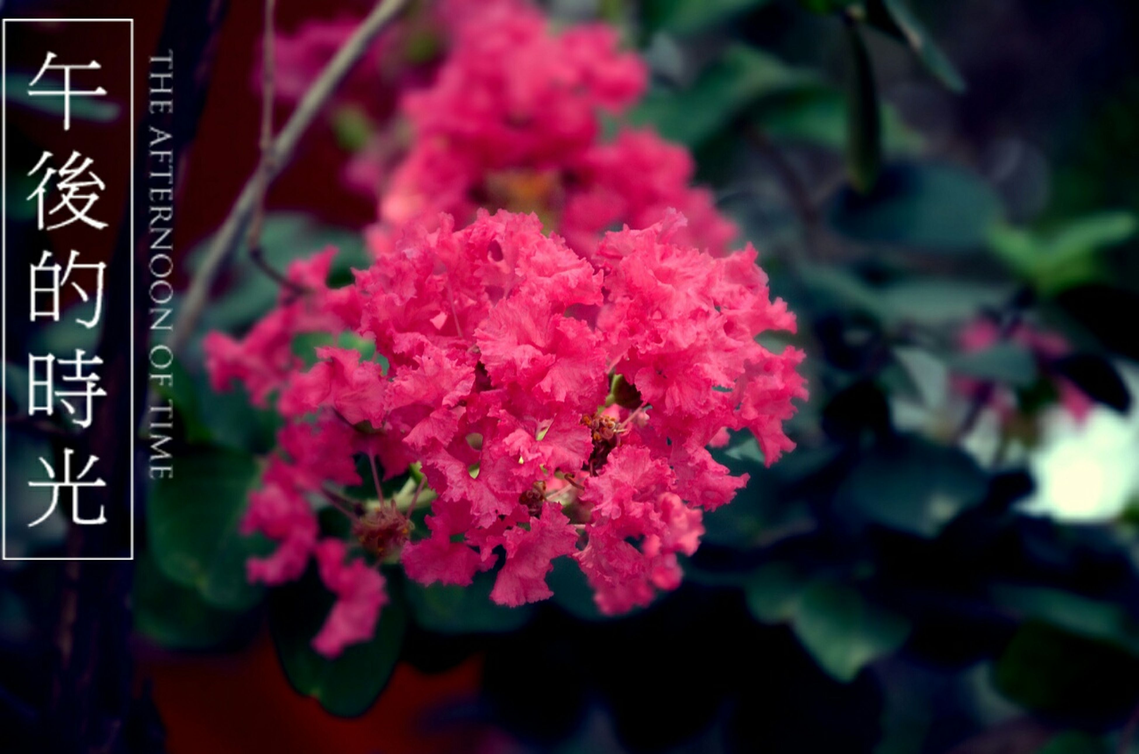 flower, freshness, growth, pink color, fragility, beauty in nature, nature, focus on foreground, plant, petal, close-up, blooming, leaf, outdoors, day, no people, blossom, selective focus, text, in bloom