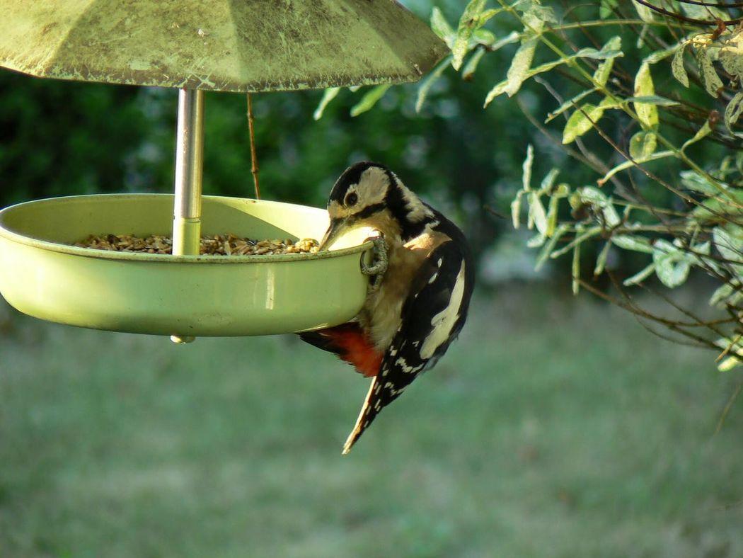 Diebischer Buntspecht / Great Spotted Woodpecker