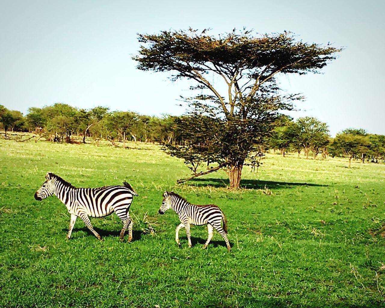 Serengeti National Park Tansania 🇹🇿 Zebra Animals In The Wild Safari