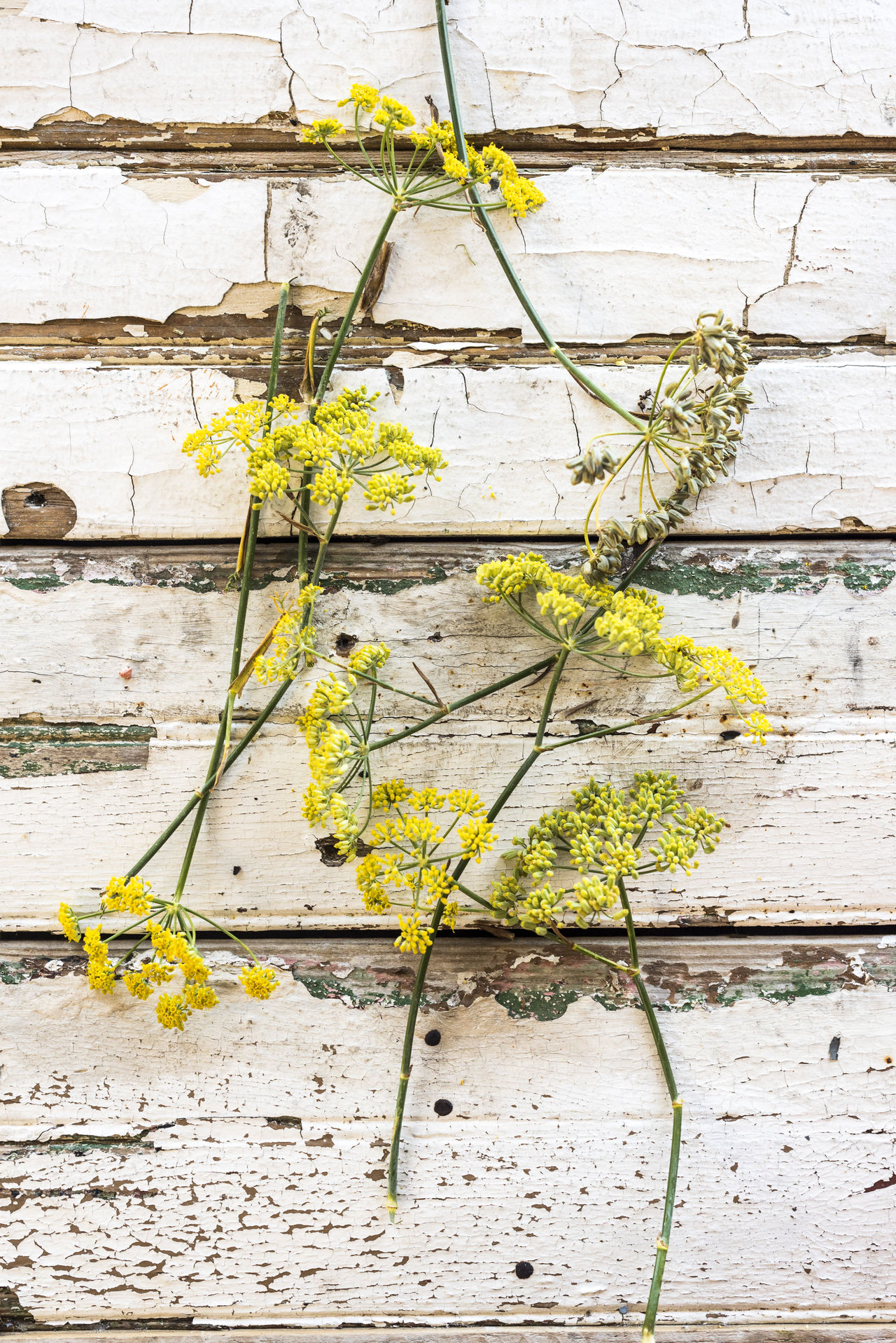Close-up Day Fennel Fennel Flower Floral Flower Flowers Food Fragility Herbs Nature No People Outdoors Plant Texture Textured  Vegetable Vintage Weathered White Wood Yellow