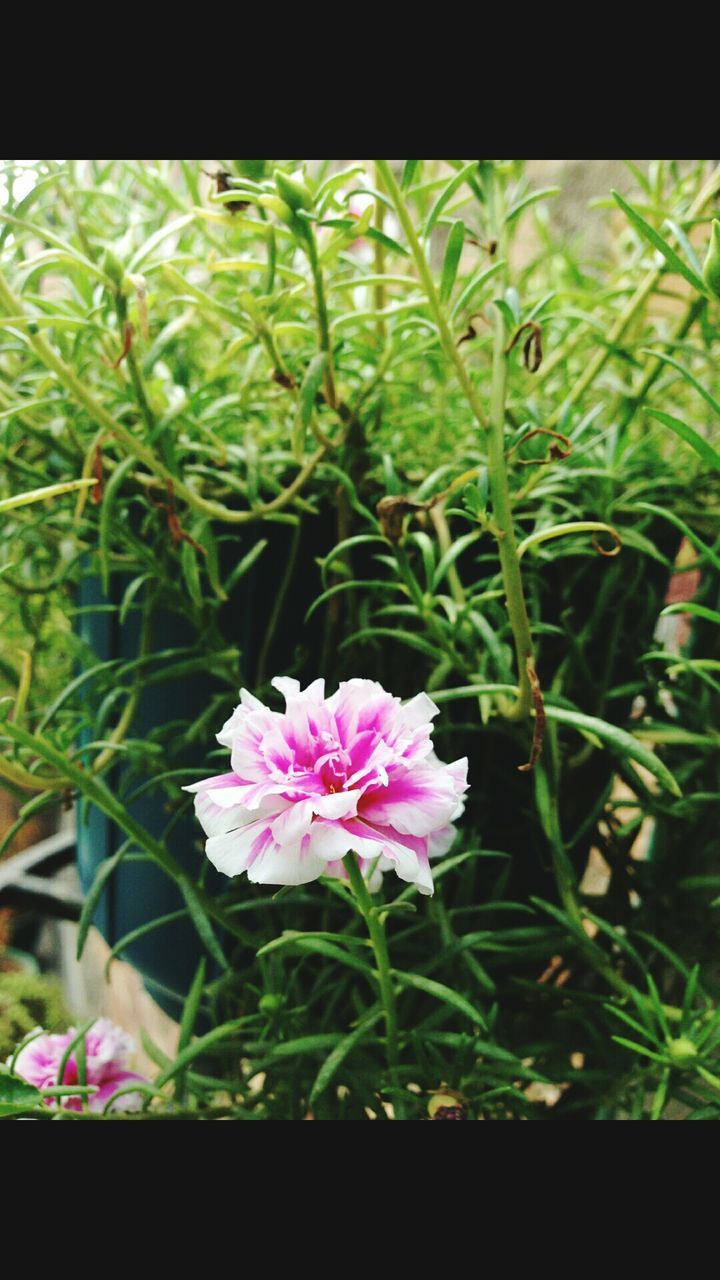 flower, growth, nature, beauty in nature, plant, fragility, green color, freshness, no people, outdoors, petal, day, close-up, pink color, flower head, focus on foreground, leaf, blooming