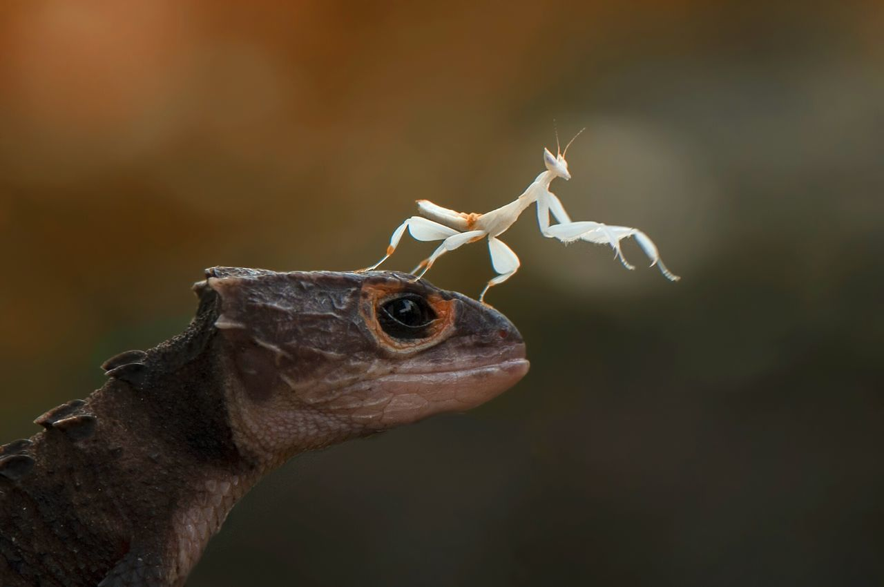 Croc And Mantis Animal Wildlife Lizard Contrasts Animal Close-up Outdoors Nature Day Reptile Daylight Photography INDONESIA Bokeh Dragon Nikon Mantis Orchid Mantis Looking Side View Friendship Croc Photo Potrait Animals In The Wild