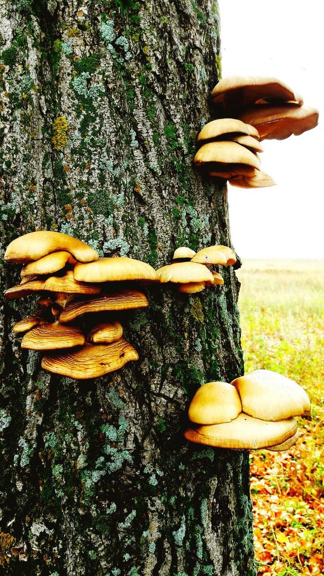 Tree Trunk Close-up Growth Fungus Nature Plant Outdoors Day Group Of Objects Freshness Beauty In Nature Tranquility Surface Level Growing Creativity Softness No People Mushrooms 🍄🍄 Mushrooms Mushroom Mushroomphotography Mushrooms Magic. Mushroom_pictures Mushroom Collection Mushroom Hunting