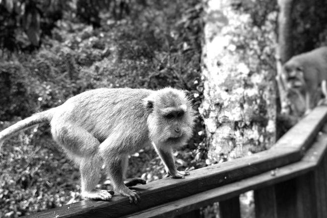 Animal Themes Mammal Monkey Monkey Forest Monkey Forest Ubud Nature One Animal Sacred Places